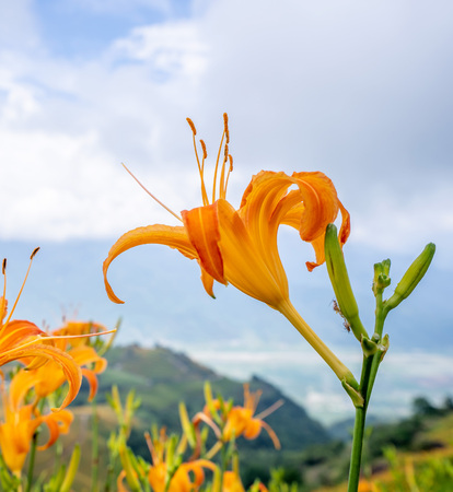 Orange daylily flower(Tawny daylily) bloom over the whole Sixty Rock Mountain(Liushidanmountain) with the background of bright blue sky and white cloud in the Fuli, Hualien county in Taiwan, close-up. Stock Photo - 106579136