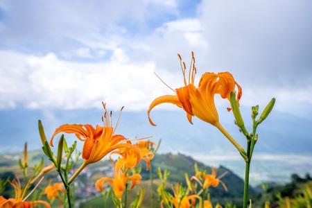 La flor de azucena naranja (Tawny daylily) florece en toda la montaña Sixty Rock (montaña Liushidan) con el fondo de un cielo azul brillante y una nube blanca en Fuli, condado de Hualien en Taiwán, primer plano. Foto de archivo