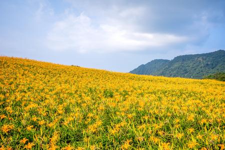 The Orange daylily(Tawny daylily) flower farm at chih-ke Mountain(chi ke shan) with blue sky and cloud, Hualian , Taiwan Stock Photo