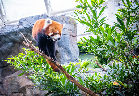 Cute red panda live in hong kong zoo. In the wild habitat of red pandas, tree branches are often covered with reddish brown moss. Stock Photo