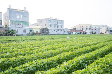 A young man farmer master is spraying pesticides (farm chemicals) on his own sesame field to prevent pests and plant diseases in the morning, aerial view, Xigang, Tainan, Taiwan