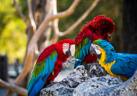 red-and-green macaws and blue-and-yellow macaw playing in the zoo