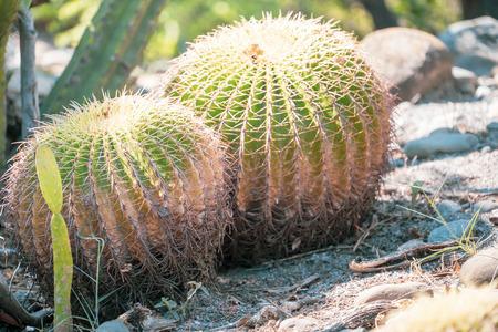 Golden Barrel Cactus(Echinocactus grusonii) in a dryland garden background, close up Stock Photo