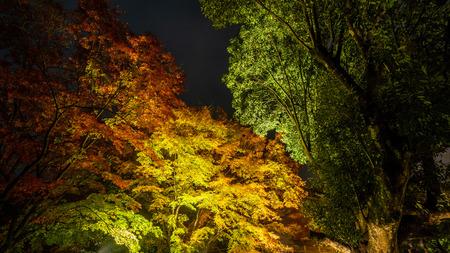 maple trees at night