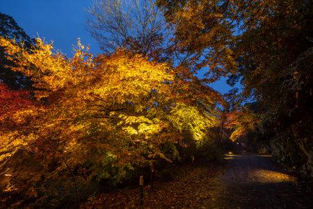 Beautiful Japanese garden named Mifuneyama Rakuen in autumn night view with maple leaves.