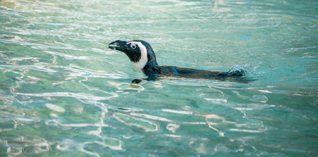 Swimming penguin. African penguin ( Spheniscus demersus) also known as the jackass penguin and black-footed penguin.