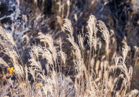 dry brown grassland with miscanthusm in autumn, blue sky.