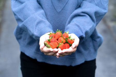 A young woman in blue sweater is picking up and holding fresh seasonal strawberries in the hands isolated on the garden, concept of organic farming, close up, copy space, macro.