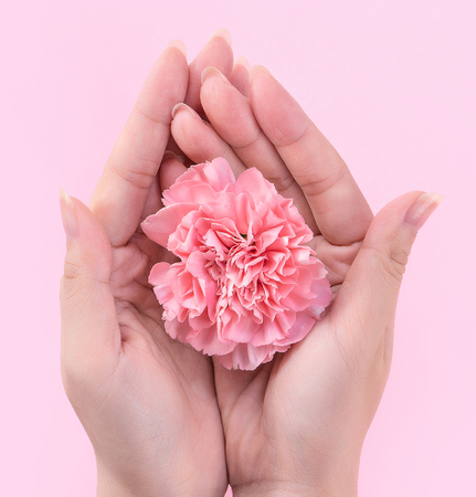 Woman giving a single elegance blooming baby pink color tender carnation isolated on bright pink background, greeting and decor design concept, top view, close up, copy space Foto de archivo
