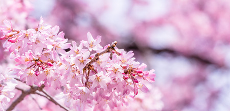 Beautiful cherry blossoms sakura tree bloom in spring in the castle park, copy space, close up, macro. Standard-Bild