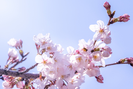 De belles fleurs de cerisier yoshino sakura (Prunus yedoensis) fleurissent au printemps dans le parc du château, espace copie, gros plan, macro. Banque d'images