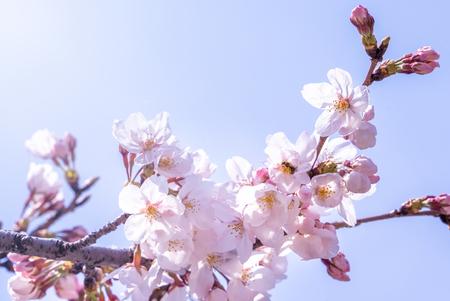 Mooie yoshino kersenbloesem sakura (Prunus yedoensis) boom bloei in het voorjaar in het kasteelpark, kopieer ruimte, close-up, macro. Stockfoto