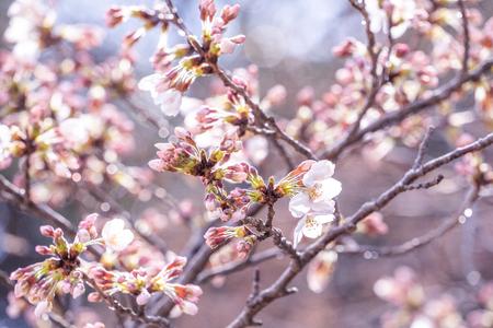 Beautiful yoshino cherry blossoms sakura (Prunus × yedoensis) tree bloom in spring in the castle park, copy space, close up, macro.