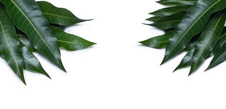 Green fresh mango leaves isolated on white background, beautiful vein texture in detail. Clipping path, cut out, close up, macro. Tropical concept. Stock Photo