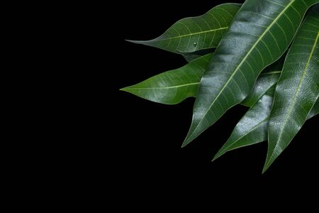 Green fresh mango leaves isolated on black background, beautiful vein texture in detail. Clipping path, cut out, close up, macro. Tropical concept.