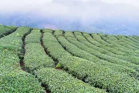 Schöne Grüntee-Erntegartenreihenszene mit blauem Himmel und Wolke, Designkonzept für den frischen Teeprodukthintergrund, Kopienraum.