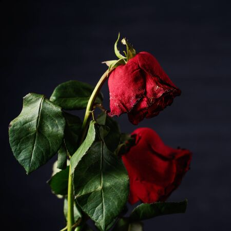 Rose fanée sur fond gris foncé et table en bois avec pétales et feuilles d'automne, concept de design de la triste romance de la Saint-Valentin, brisée, copie, espace.