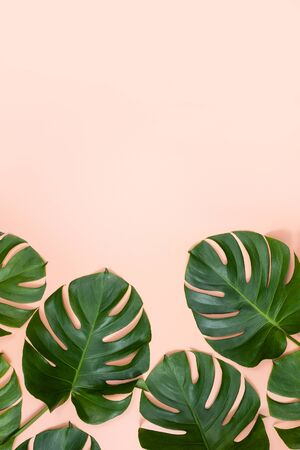Beautiful tropical palm monstera leaves branch isolated on bright pink background, top view, flat lay, overhead above summer beauty blank design concept. Stockfoto