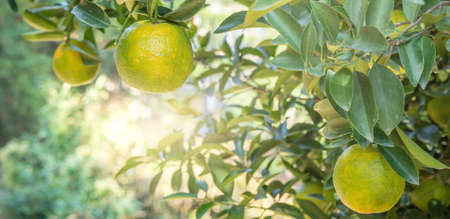 Fresh ripe tangerine mandarin orange on the tree in the orange garden orchard with backlight of sun.