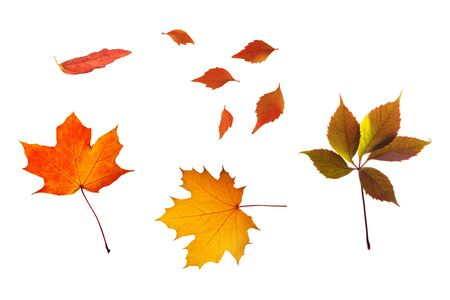 Set of bright colorful autumn leaves, maple and other, isolated on white
