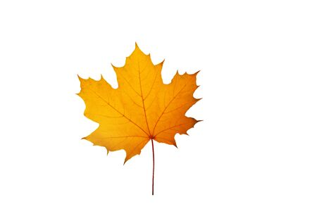 Yellow maple canadian leaf isolaed on white