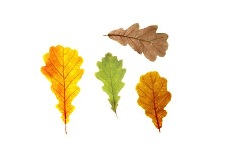 Set of oak tree leaves of diffrent autumn colors, isolated on white