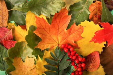Colorful and bright autumn leaves background , maple
