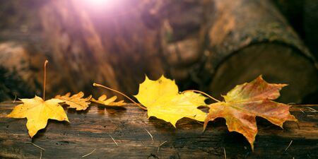 Maple leaves on tree trunk with sunset glow effect, banner