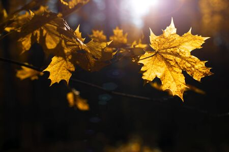 Colorful and bright autumn mapple leaves on dark background, beautiful lighting Stok Fotoğraf