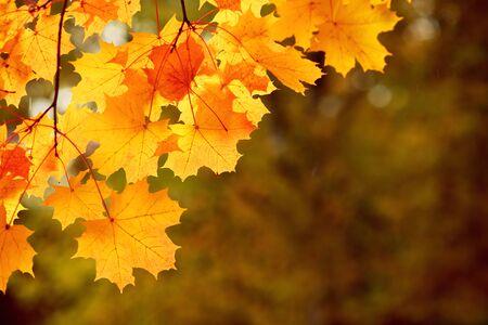 Bright autumn mapple leaves on dark background, beautiful lighting Stok Fotoğraf