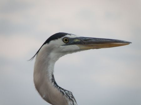 A Great Blue Heron in search of food. Stock Photo