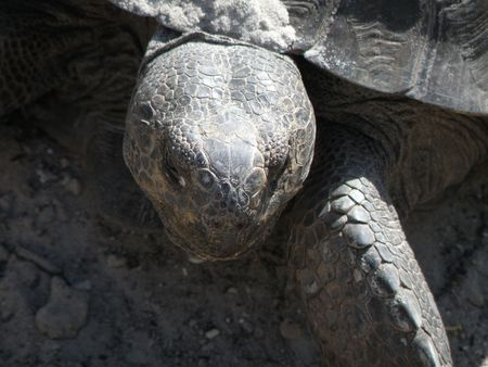 Tortoise digging a next to lay her eggs.