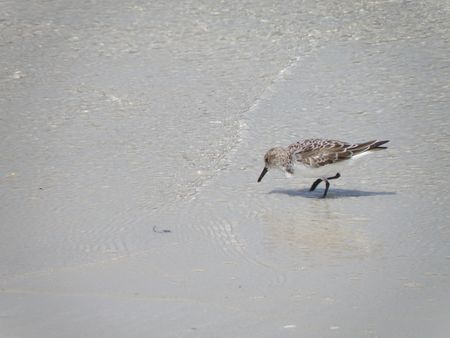Bird looking for food along the ocean shore. Stock Photo