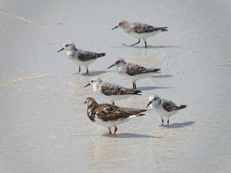 Flock of birds looking for food along the ocean shoreline.