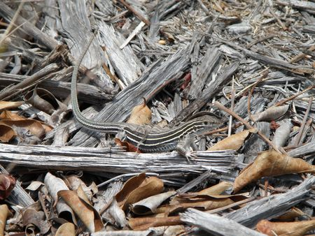 A striped lizard blends in with its natural surroundings. Stock Photo