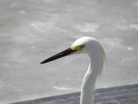 A Snowy Egret in the bright sun. Stock Photo