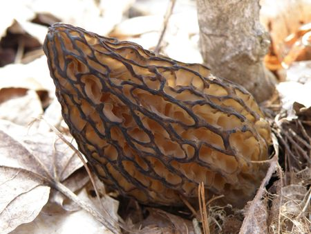 A Morel mushroom growing next to a group of Poplar trees.