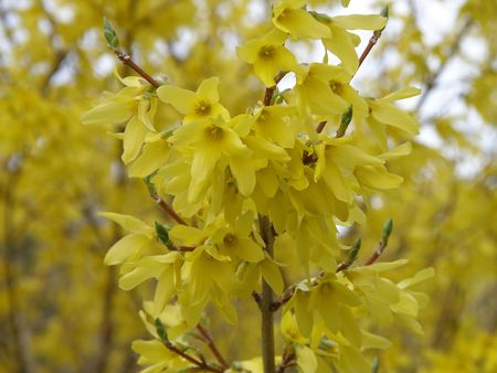 Beautiful Forsythia flowers bloom in the morning sun. Stock Photo