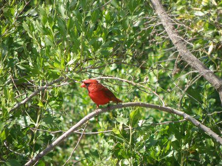A long cardinal perches on a branch. Stock Photo
