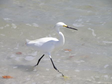 An Egret runs though the water along a ocean coastline. Stock Photo