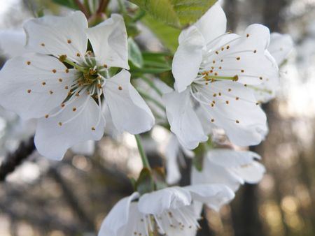 Sweet Cherry blossoms in full bloom. Stock Photo - 4829413
