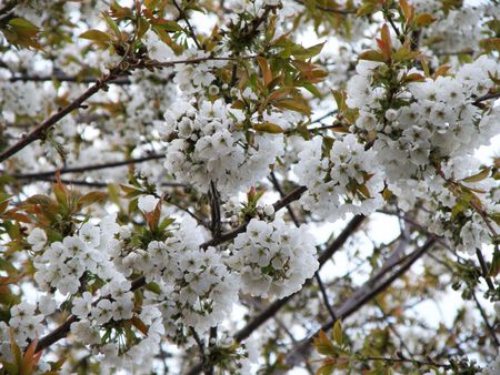 Sweet Cherry blossoms in full bloom. Clusters of flowers hang from the branches like giant snowballs.