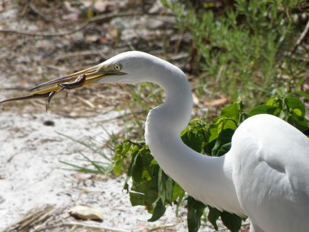 A white Egret catches a striped lizard along a beach near the western Florida coastline.