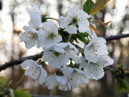 Sweet Cherry blossoms in full bloom.
