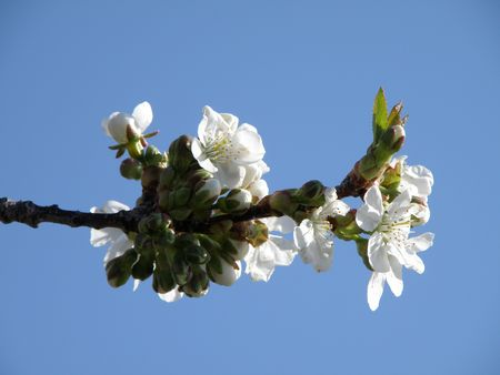 Sour cherry branch reaches out with open blossoms. Stock Photo