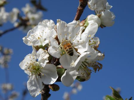 Honey Bee on a sour cherry blossom. Stock Photo - 4859178