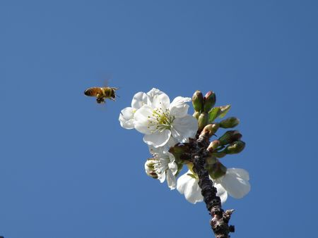 Honey bee preparing to land on a sour cherry blossom.