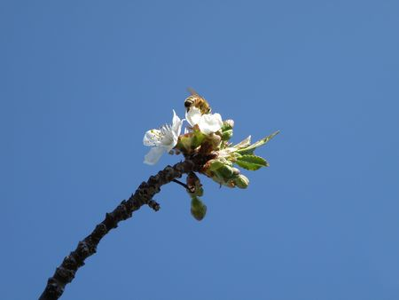 Honey Bee on a sour cherry blossom. Stock Photo - 4859174
