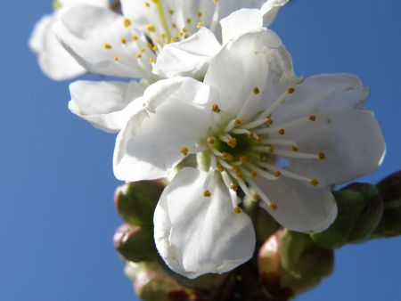 Close up image of a sour cherry blossom. Bright blue sky in the background. Stock Photo