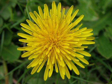A bright yellow Dandelion. Detailed petal formation appears like the blazing sun.